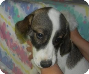 Australian Shepherd/Beagle Mix Puppy for adoption in Antioch, Illinois - Al CaBone  ADOPTED!!