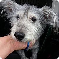Adopt A Pet :: Cici - Bardonia, NY