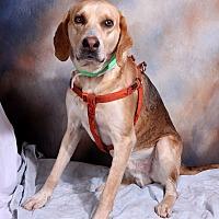 Hound (Unknown Type) Mix Dog for adoption in St. Louis, Missouri - Hercules Hound
