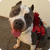 American Pit Bull Terrier Mix Dog for adoption in Santa Clarita, California - Nikova