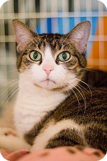 Domestic Shorthair Cat for adoption in Grayslake, Illinois - Aspen