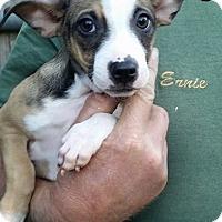 Adopt A Pet :: Levi - Gainesville, FL
