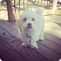Adopt A Pet :: Snowy (aka Herschel) - Alpharetta, GA