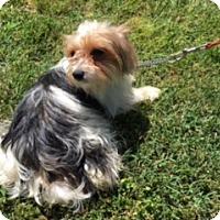 Adopt A Pet :: YANKEE - Elk Grove, CA