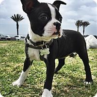 Adopt A Pet :: Pax - Encino, CA
