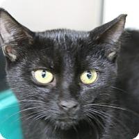 Domestic Shorthair Cat for adoption in Sarasota, Florida - Babar