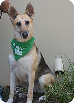 Shepherd (Unknown Type)/Greyhound Mix Dog for adoption in Studio City, California - Anya