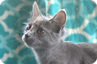 Russian Blue Kitten for adoption in Hagerstown, Maryland - Allen