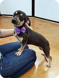 Chihuahua/Dachshund Mix Dog for adoption in Arlington, Texas - Bolivia