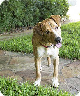 Labrador Retriever/Setter (Unknown Type) Mix Dog for adoption in Vancouver, British Columbia - Charlton