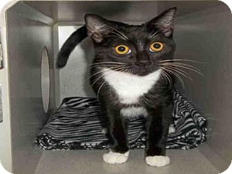 Domestic Mediumhair Cat for adoption in Jackson, California - *RAMONA
