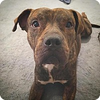 Mastiff Mix Dog for adoption in Houston, Texas - Monkey Kong