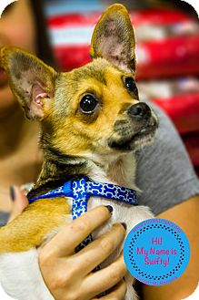 Chihuahua/Rat Terrier Mix Dog for adoption in Staten Island, New York - Swifty