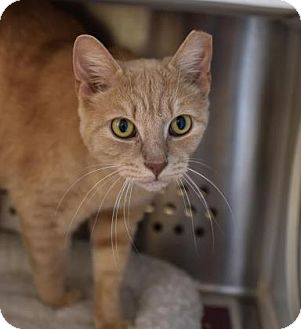 Domestic Shorthair Cat for adoption in Reisterstown, Maryland - Spike