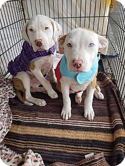 Pit Bull Terrier/Labrador Retriever Mix Puppy for adoption in Las Vegas, Nevada - Pumpkin