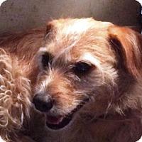 Adopt A Pet :: GEOFFREY - Furry babydoll - DeLand, FL