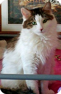 Domestic Longhair Cat for adoption in Denver, Colorado - Trixie
