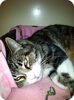 Domestic Shorthair Cat for adoption in Laguna Woods, California - Daisy