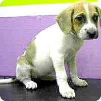 Adopt A Pet :: Dakota-ADOPTION PENDING - Boulder, CO