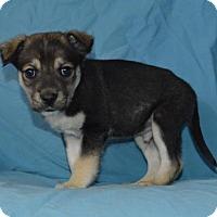 Adopt A Pet :: Blue Blood: Frank - Corona, CA