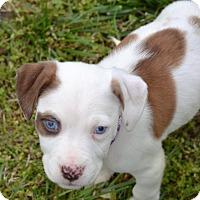 Adopt A Pet :: Sparrow - Albemarle, NC