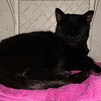 Domestic Shorthair Cat for adoption in Benton, Pennsylvania - Hobo