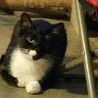 Domestic Shorthair Kitten for adoption in Columbia, South Carolina - Tux