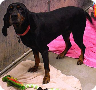 Black and Tan Coonhound Mix Dog for adoption in Kalamazoo, Michigan - Ebony