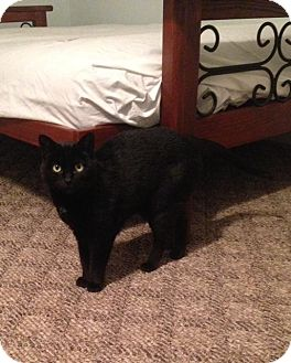 Domestic Mediumhair Cat for adoption in Mansfield, Ohio - Pearl