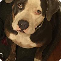 American Pit Bull Terrier/Basset Hound Mix Dog for adoption in Fulton, Missouri - Millie Sunflower--Fresno