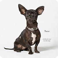 Adopt A Pet :: Maxine - Chino Hills - Chino Hills, CA