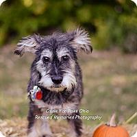 Adopt A Pet :: Brutus Buckeye - Columbus, OH
