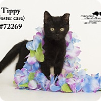 Adopt A Pet :: Tippy (Foster Care) - Baton Rouge, LA