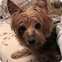 Adopt A Pet :: Scarlett - Martinsburg, WV