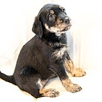 Adopt A Pet :: Kori - Englewood, CO