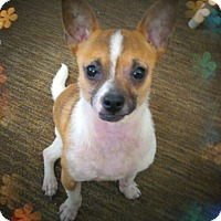 Chihuahua/Jack Russell Terrier Mix Puppy for adoption in Mastic Beach, New York - HURLEY!!