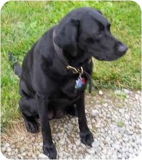 Labrador Retriever Dog for adoption in Cincinnati, Ohio - Morgan - Courtesy Post