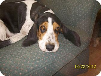 Basset Hound/Beagle Mix Dog for adoption in Leesburg, Virginia - Holly