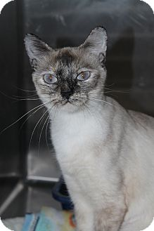 Siamese Cat for adoption in North Branford, Connecticut - J. J.