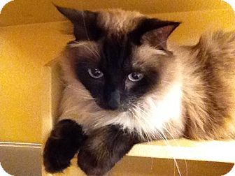 Himalayan Cat for adoption in Foothill Ranch, California - Zoey