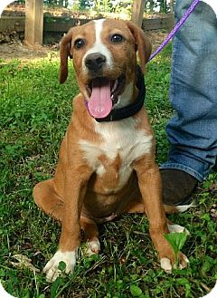 Hound (Unknown Type)/Beagle Mix Dog for adoption in Washington, D.C. - Jan (mcminn)