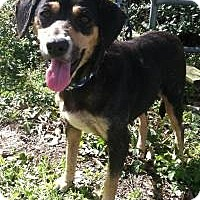 Beagle/Hound (Unknown Type) Mix Dog for adoption in Kingwood, Texas - Susie