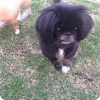 Pekingese Mix Dog for adoption in Lincolnwood, Illinois - Lola
