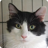 Domestic Mediumhair Cat for adoption in Longview, Washington - Christmas Carol