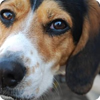 Adopt A Pet :: Sammy (Beagle) - Whitestone, NY