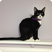 Adopt A Pet :: Sylvester - Bluefield, WV