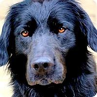 Adopt A Pet :: BOSCH(TERRIFIC BREED-SO SMART! - Wakefield, RI