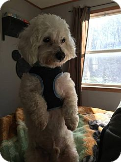 Bichon Frise Dog for adoption in Mauston, Wisconsin - Benji