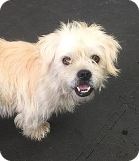 Shih Tzu/Terrier (Unknown Type, Medium) Mix Dog for adoption in Woodinville, Washington - Taylor