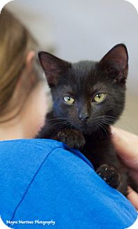 Domestic Shorthair Kitten for adoption in Nashville, Tennessee - Onyx
